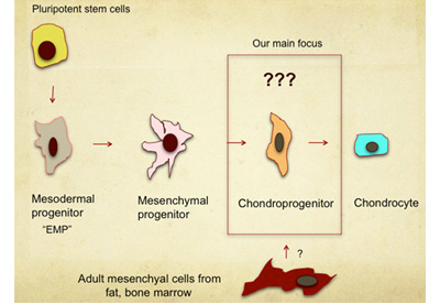 pluripotent stem cell (PSC) derived chondroprogenitor cells (ChPC)